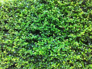 Background of bush with green leaves - image gratuit #347311