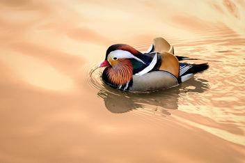 Mandarin Ducks - Free image #347891