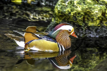 Mandarin Duck Reflected - Free image #348351
