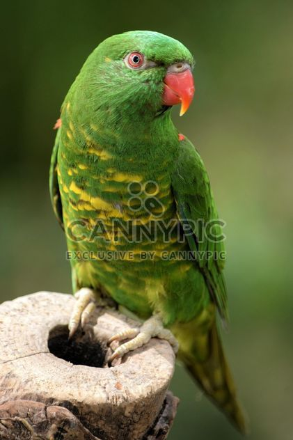 Красивая зеленая лорикет попугай - бесплатный image #348451