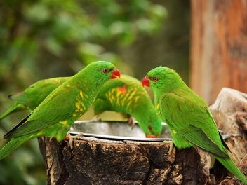Group of green lorikeet parrots - image #348461 gratis
