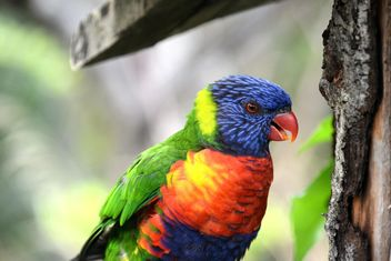 Tropical rainbow lorikeet parrot - бесплатный image #348481