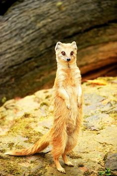 Cute mongoose standing on ground - image #348601 gratis