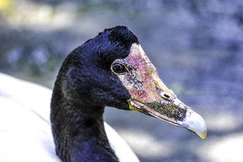 Magpie Goose Portrait - image #350191 gratis