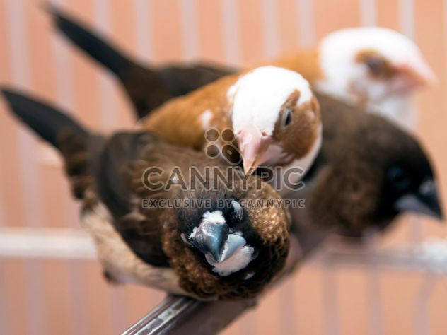 White-rumped Munia birds - Free image #350251
