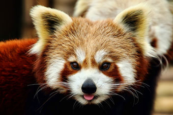 Red Panda - Shepreth Wildlife Park - image #355531 gratis