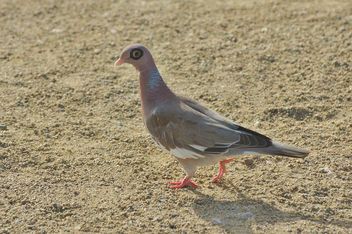 Pretty Little Dove In Aruba - image gratuit #355801