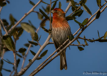 Male House Finch - Free image #357891
