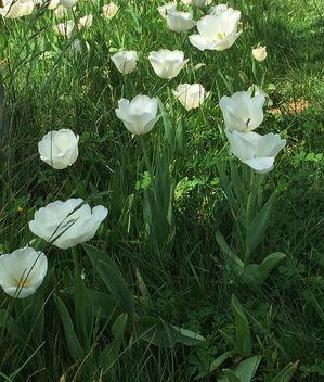 Turkey (Istanbul) White Tulips - Kostenloses image #363491