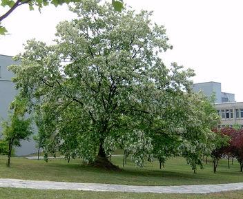 Turkey (Istanbul) Huge Pseudo acacia tree - Kostenloses image #365501