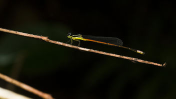 A damselfly that resting on a stick insect leg - бесплатный image #366191