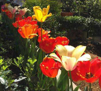 Turkey (Istanbul)- Tulips - Free image #366671
