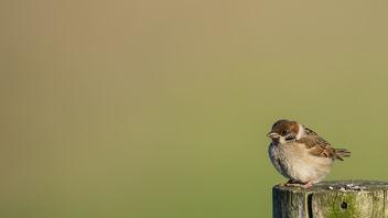 Ringmus / Passer montanus / Eurasian tree sparrow - бесплатный image #372371