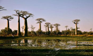 Allee des Baobabs, Madagascar - бесплатный image #372821