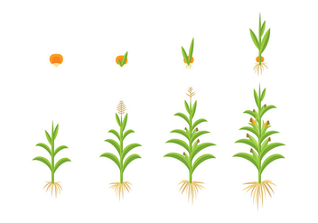 GROW UP CORN VECTOR - vector gratuit #374101