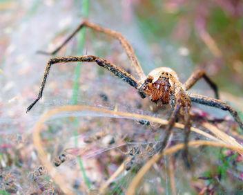 Spider Mum - Free image #376451