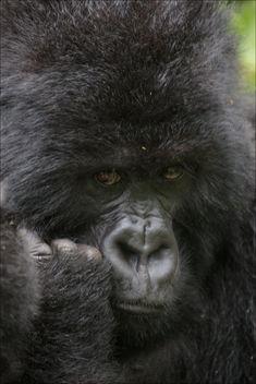 Portrait - Gorille - image gratuit #376711