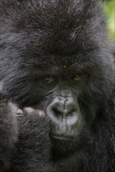 Portrait - Gorille - Free image #376711