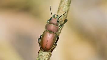 Metallic Stag Beetle - Free image #377211