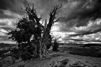 Bristlecone Pine - Free image #383101