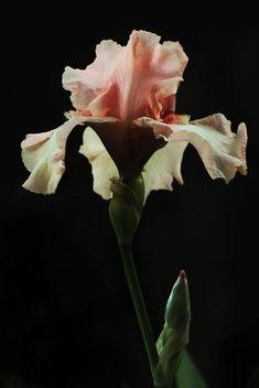 Iris - image #385111 gratis
