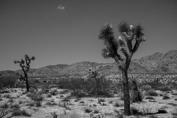 The Joshua trees - image gratuit #385141