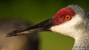 Sandhill Crane - image gratuit #386151