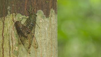 Cicadas pairing - Free image #386931