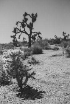 Joshua Trees - Free image #388531