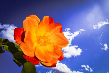 Sunkissed Rose - image gratuit #388571