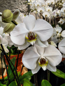 Orchids - Free image #395831