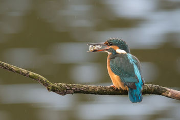 Stickleback with Kingfisher - Free image #397761