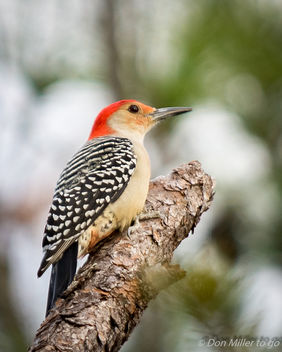 Red-bellied Woodpecker - Free image #403491