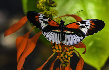 Piano Key Butterfly - Free image #405611