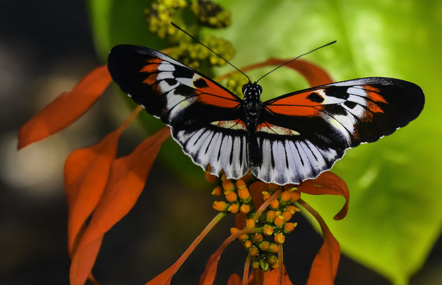 Piano Key Butterfly - image #405611 gratis