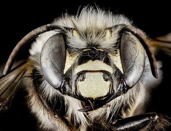 Anthophora ursina, M, Face, Georgia, Fannin County_2014-10-24-15.53 - Kostenloses image #411121