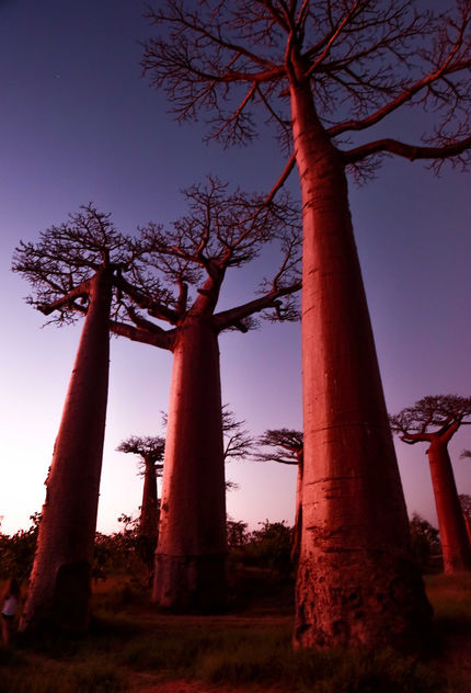 Baobabs on Sunset - Free image #413051