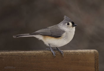Tufted Titmouse - image #413171 gratis