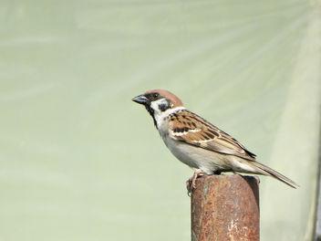Eurasian tree sparrow // Passer montanus - Kostenloses image #415101