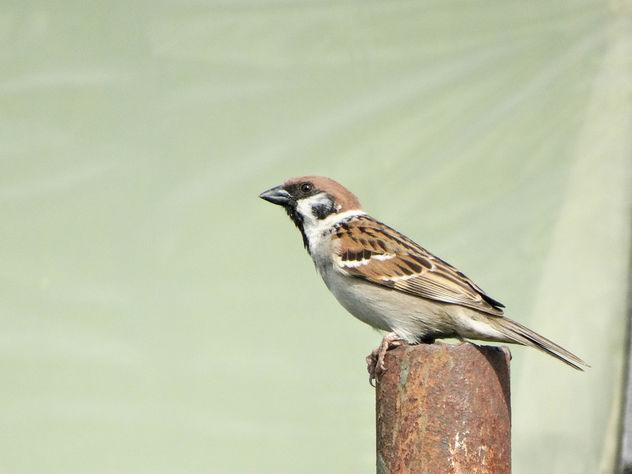 Eurasian tree sparrow // Passer montanus - Free image #415101