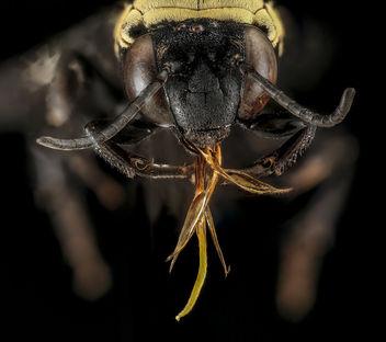 Triepeolus concavus, f, face, Pennington Co, South Dakota_2016-01-20-10.00 - бесплатный image #415231