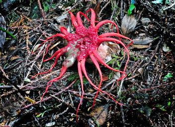 Stinkhorn (Phallaceae) - Kostenloses image #415661