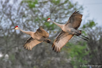 Sandhill Cranes - image #415991 gratis