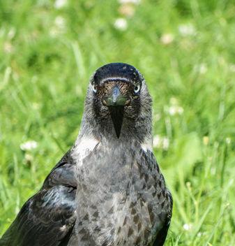 European jackdaw // Corvus monedula - Free image #416271