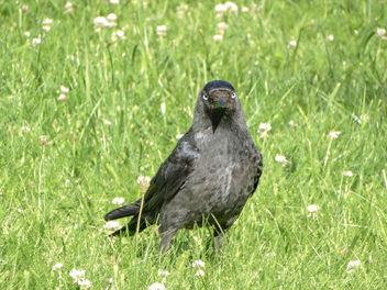 Western jackdow // Corvus monedula - Free image #416441