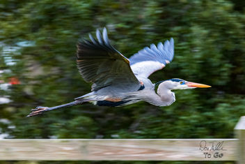 Great Blue Heron on the move - бесплатный image #416761