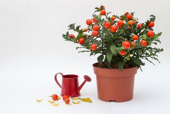 Solanum pseudocapsicum loneparent houseplant, red watering can on white background - бесплатный image #419651