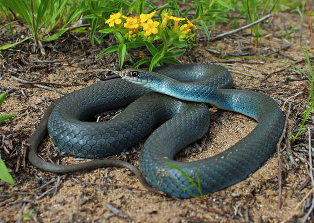 Blue Racer (Coluber constrictor foxii) - image gratuit #420851