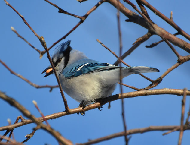 Bluejay: Using My New 70-300mm Nikon Lens For The First Time - image gratuit #421221