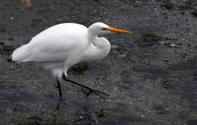 Kotuku, White heron,( Egretta alba modesta,) - image gratuit #422151